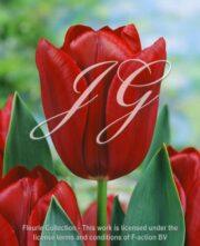 botanic stock photo Tulipa 313