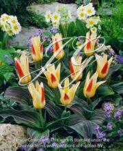 botanic stock photo Tulipa Johan Strauss