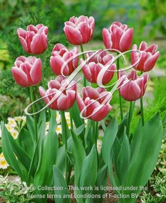 botanic stock photo Tulipa Tulipa Arabian Mystery