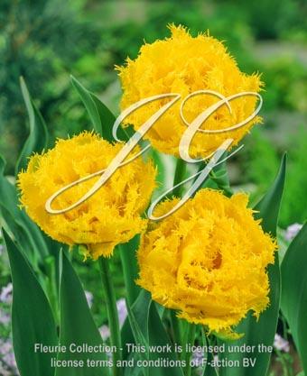 botanic stock photo Tulipa Tulipa Mon Amour