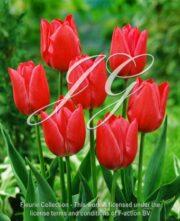 botanic stock photo Tulipa Sweet Rosie