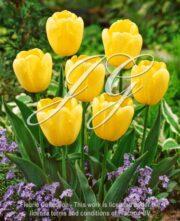 botanic stock photo Tulipa Fats Domino