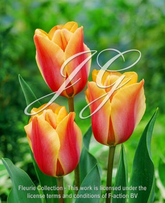 botanic stock photo Tulipa Tulipa Indian Summer