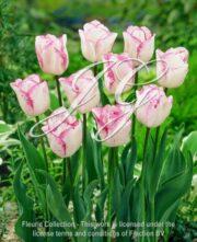 botanic stock photo Tulipa Tulipa Shirley