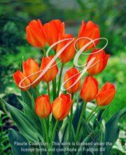 botanic stock photo Tulipa Orange Fusilier