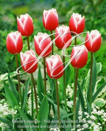 botanic stock photo Tulipa Tulipa Shireen
