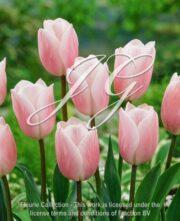 botanic stock photo Tulipa Agrass Creme