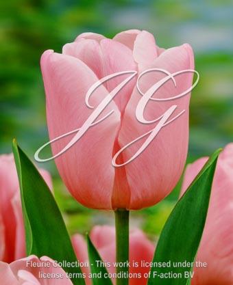 botanic stock photo Tulipa Tulipa Pink Diamond