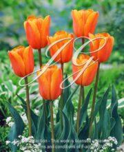 botanic stock photo Tulipa Terra Nova