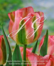 botanic stock photo Tulipa Groenland