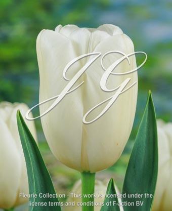 botanic stock photo Tulipa Tulipa Maureen