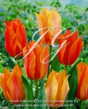 botanic stock photo Tulipa Tulipa El Nino