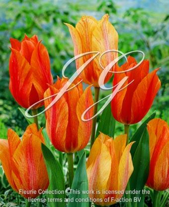 botanic stock photo Tulipa Tulipa El Nino