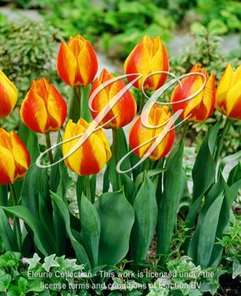 botanic stock photo Tulipa Flair