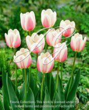 botanic stock photo Tulipa Beaumonde