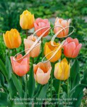 botanic stock photo Tulipa Tulipa Apricot Beauty - Sports