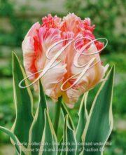 botanic stock photo Tulipa Silver Parrot