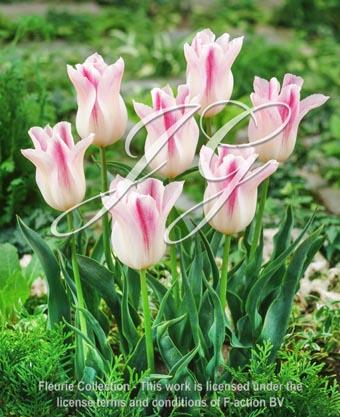 botanic stock photo Tulipa Holland Chic