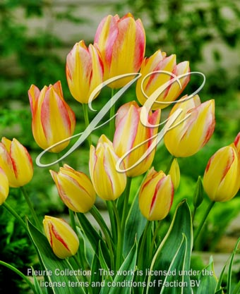 botanic stock photo Tulipa Antoinette