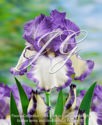 botanic stock photo Iris Garibaldi