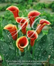 botanic stock photo Zantedeschia Cap Chelsea