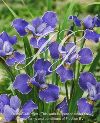 botanic stock photo Iris Silver Edge