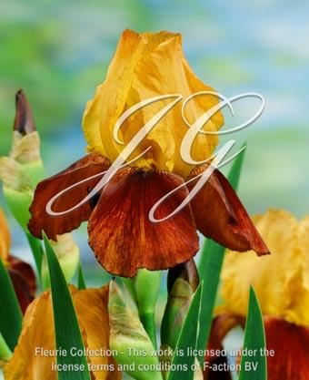 botanic stock photo Iris Howard Weed