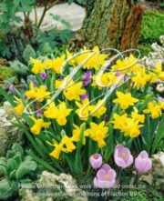 botanic stock photo Narcissus Tete a Tete