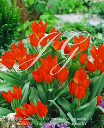 botanic stock photo Tulipa Tulipa Fusilier