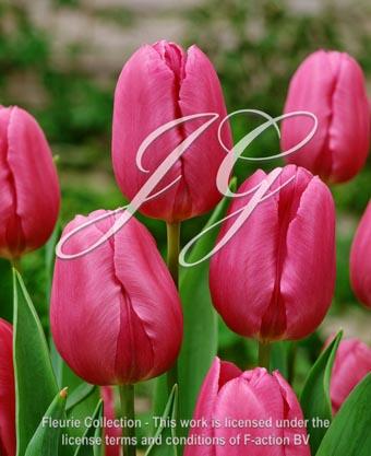 botanic stock photo Tulipa Blue Beauty