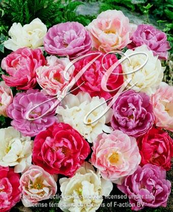 botanic stock photo Tulipa Pastel Mixed