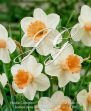 botanic stock photo Narcissus Princess Kiko