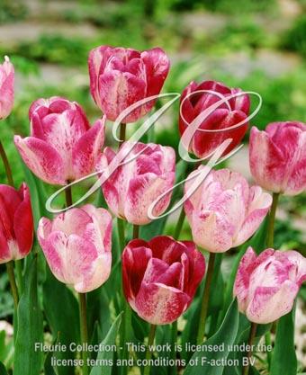 botanic stock photo Tulipa Shirley's Dream
