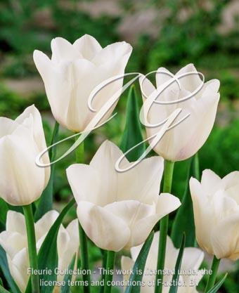 botanic stock photo Tulipa Freeman