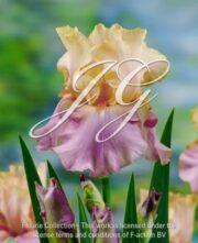 botanic stock photo Iris Peach Picotee