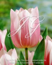 botanic stock photo Tulipa Dreaming Maid