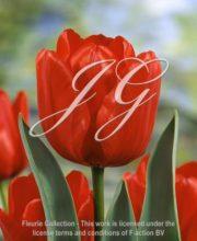 botanic stock photo Tulipa Ile de France