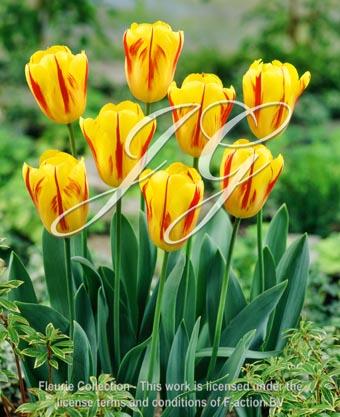 botanic stock photo Tulipa Washington