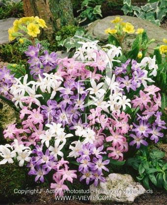 botanic stock photo Chionodoxa Chionodoxa
