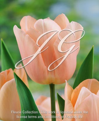 botanic stock photo Tulipa Apricot Beauty