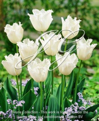 botanic stock photo Tulipa Daytona