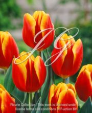 botanic stock photo Tulipa KN 97