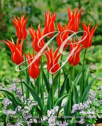 botanic stock photo Tulipa Aladdin