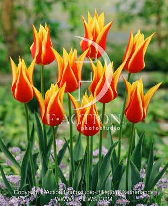 botanic stock photo Tulipa Tulipa