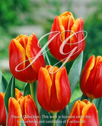 botanic stock photo Tulipa KN 120