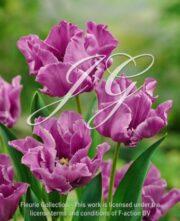 botanic stock photo Tulipa Blue Parrot