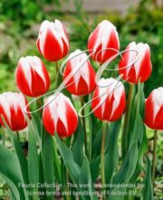botanic stock photo Tulipa Guus Papendrecht