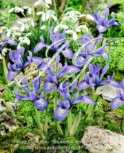botanic stock photo Iris Lady B. Stanley