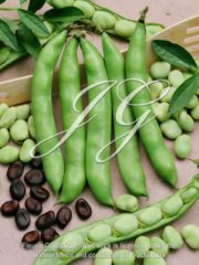 botanic stock photo Broad Bean Early Violet Seeds