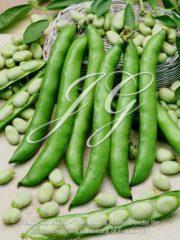 botanic stock photo Broad Bean Triple White